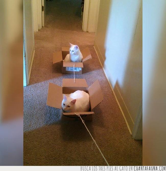 caja,científicios,cuerda,dentro,descubrir,gato,hilo,pasear,pasillo,sacar