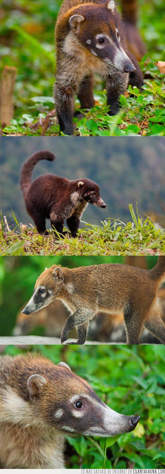 animal,coatimundi,favorito,mamífero,nuevo