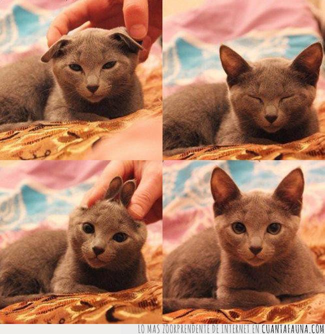 cara,gato,gris,jugar,orejas,resistir