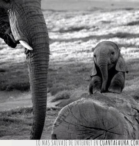 bonito,cría,dimensión,elefante,orejas,pequeño,tamaño,tronco