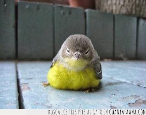 amarillo,bro,buscar,encontrar,enfadar,hermano,pájaro,semejanza