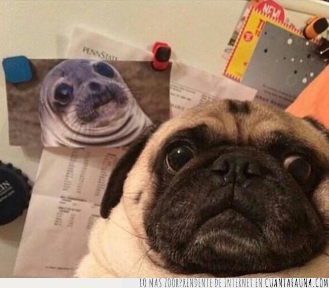 cara,foca,foto,parecer,parecido,pug,semejanza,ver
