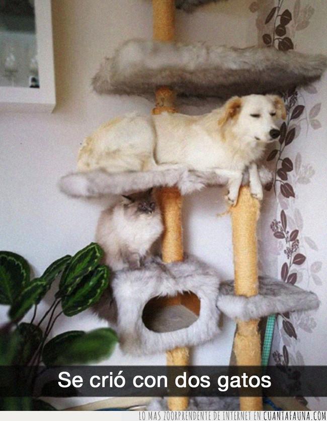 costumbre,crecer,criar,dos,estructura,gato,perro,rascador
