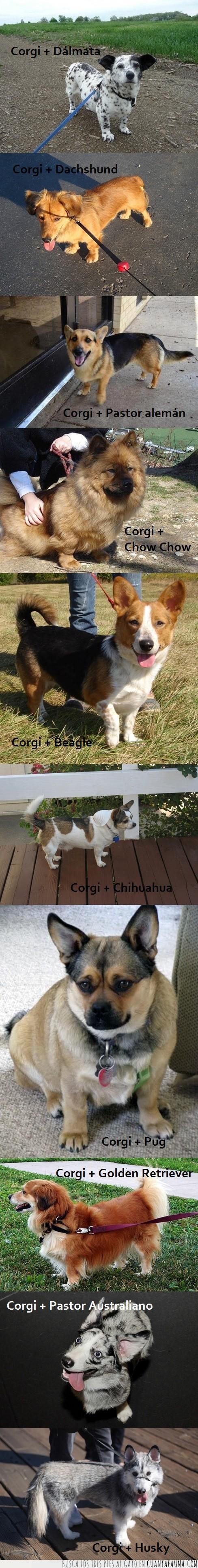beagle,chihuahua,chow chow,corgi,cruce,dachshund,dálmata,golden retriever,híbrido,husky,mixto,pastor alemán,pastor australiano,perro,pug