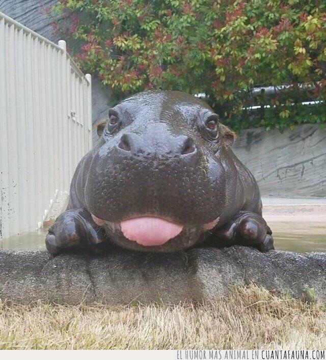 cría,descarado,hipopótamo,irreverente,lengua,osado,sacar