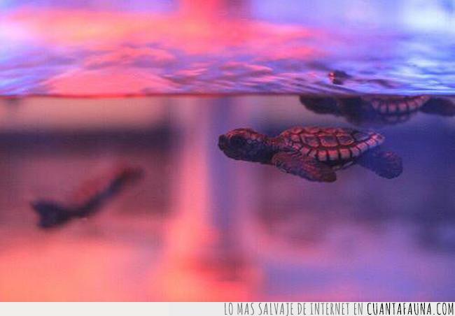 adorable,agua,bebé,bonitos,lila,morado,nadar,tortuga