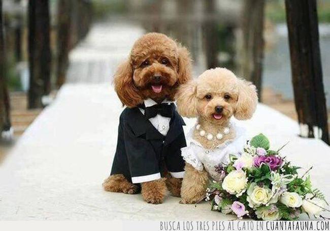 boda,collar,enlace,foto,marido,mujer,novia,novio,nupcias,perros,ramo,vestir
