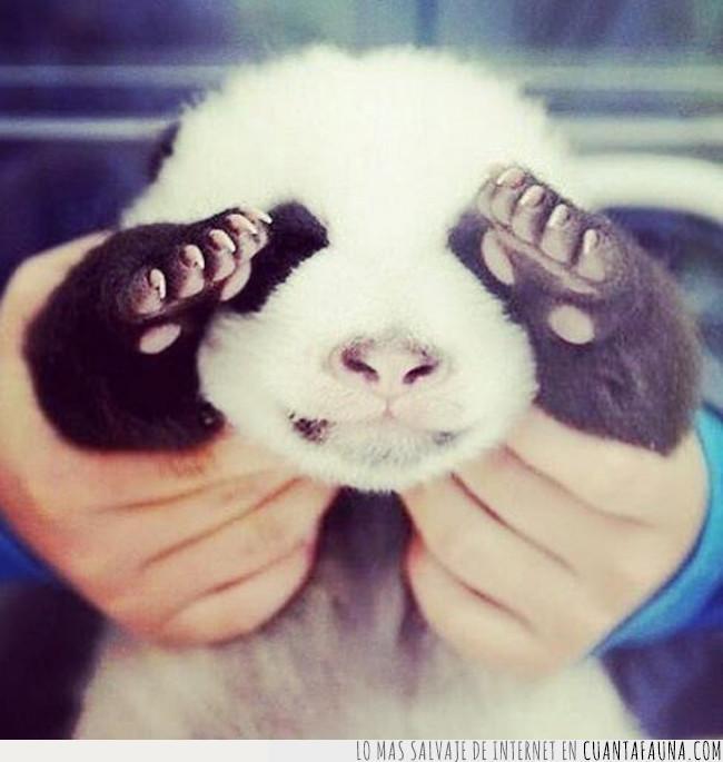 cría,escondite,jugar,ojos,panda,pequño,tapar