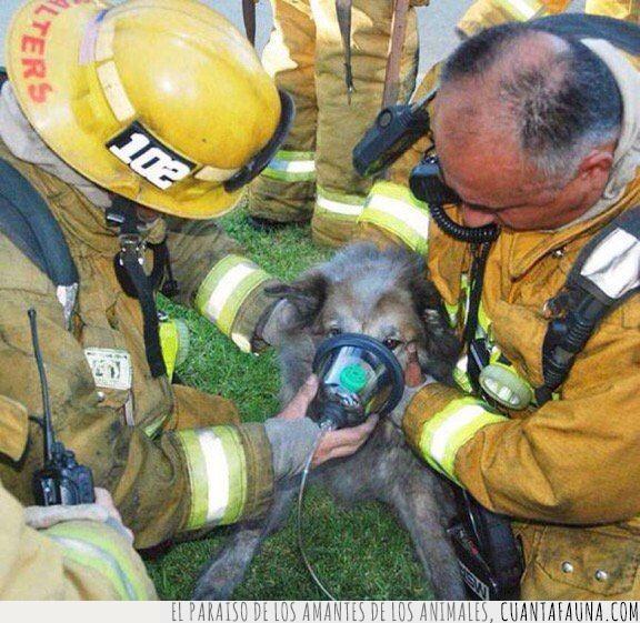 bombero,héroe,incendio,luchar,máscara,perro,ser,verdadero,vivo