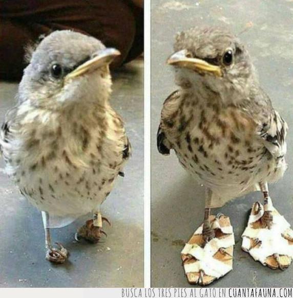 52457 - A este pájaro le han apañado las mejores chanclas que podría tener