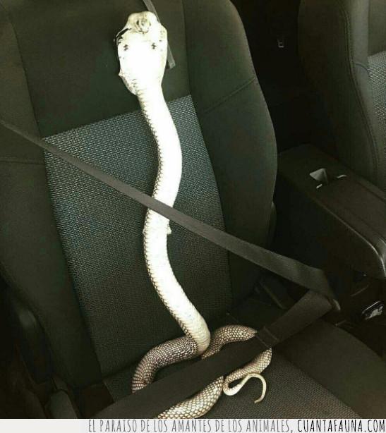 campaña,cinturón,coche,conducir,seguridad,seguro,serpiente,transporte,viajar,vial