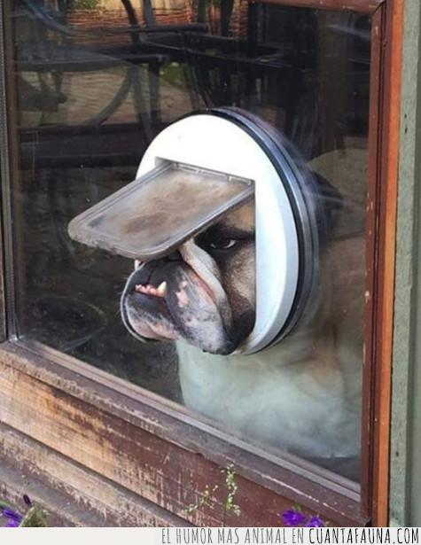 agujero,atrapar,bulldog,cara,cristal,morro,perro,puerta,salida,ventana,ventilación