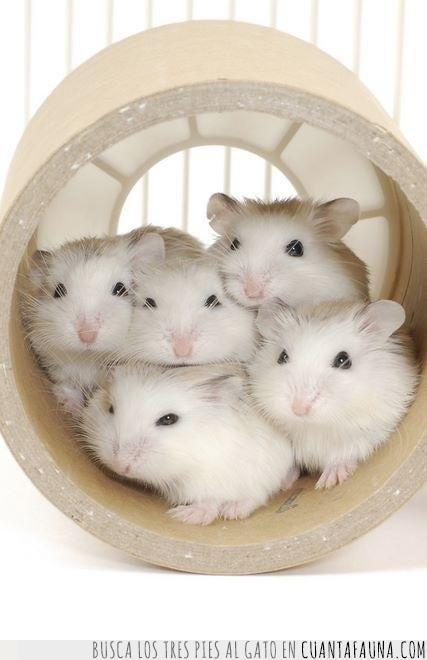 cinco,familia,foto,hámster,pequeños,rollo,túnel