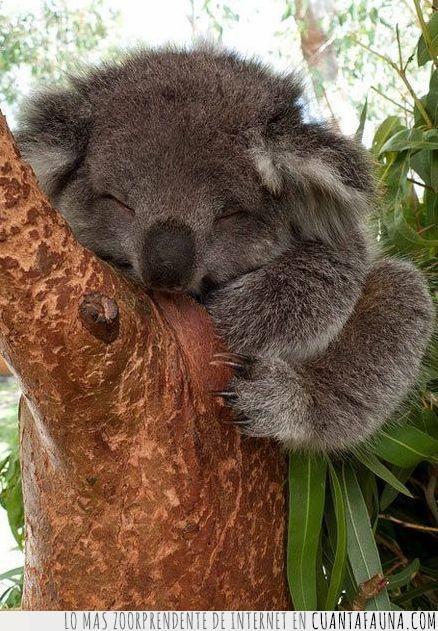 árbol,bebé,cara,dormido,dormir,feliz,koala,sonreír