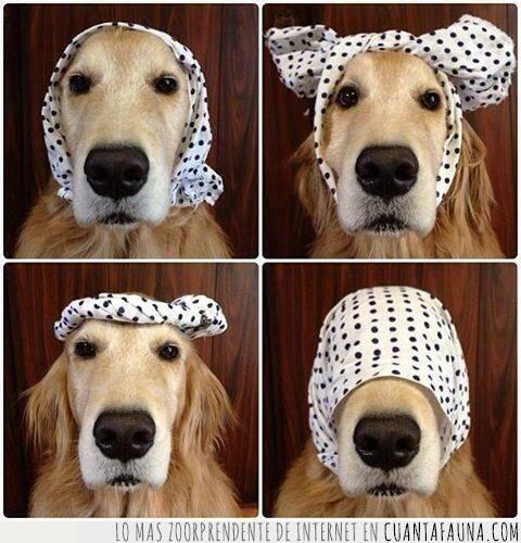 anudar,cabeza,cuatro,llevar,modelo,pañuelo,perro,poner,ropa