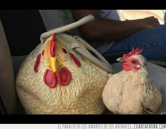 bolso,desconfiar,gallina,igual,mirar,parecer,pollo