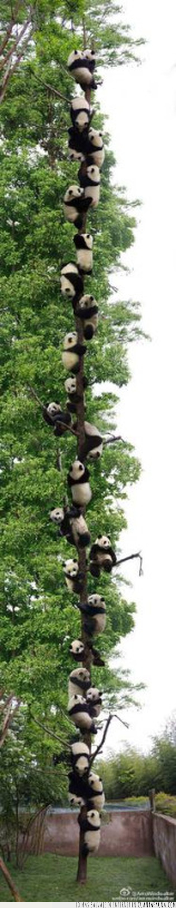 árbol,oso,panda,plantígrado