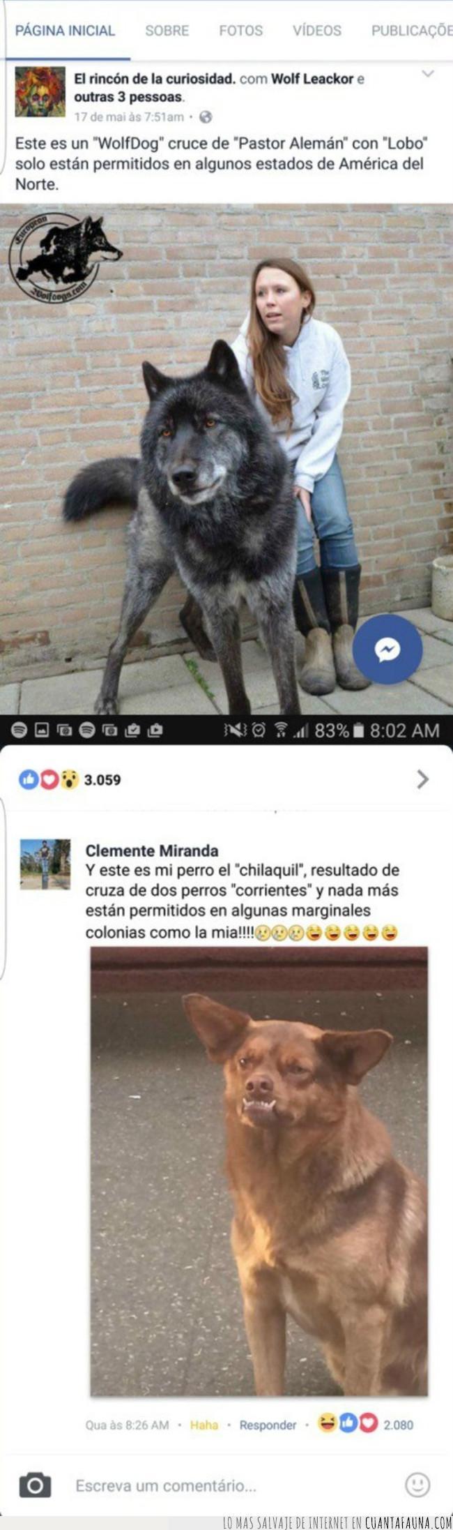 américa,chilaquil,competir,contestación,cruce,facebook,lobo,norte,patán,permitir,perro,raza