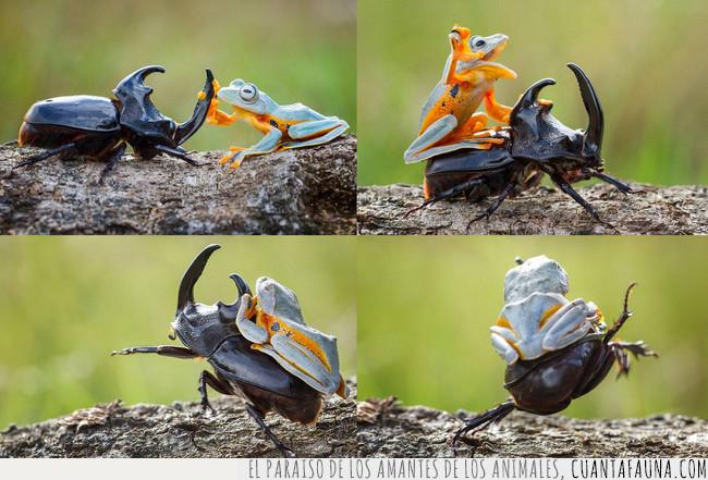 anfibio,arre,caballito,caballo,escarabajo,insecto,montar,rana