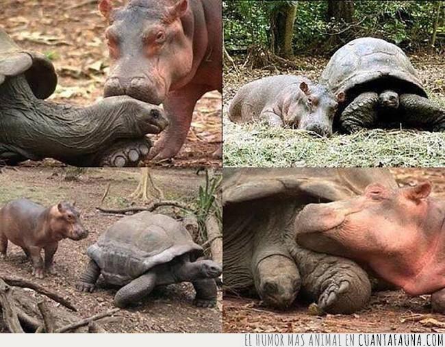 amigo,cría,hipopótamo,huérfano,tortuga,tsunami
