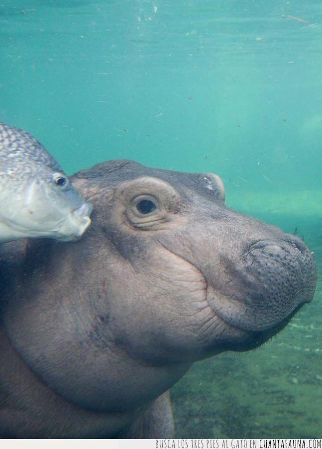 agua,beso,cara,debajo,guapo,hipopótamo,pez,sonreír,subido