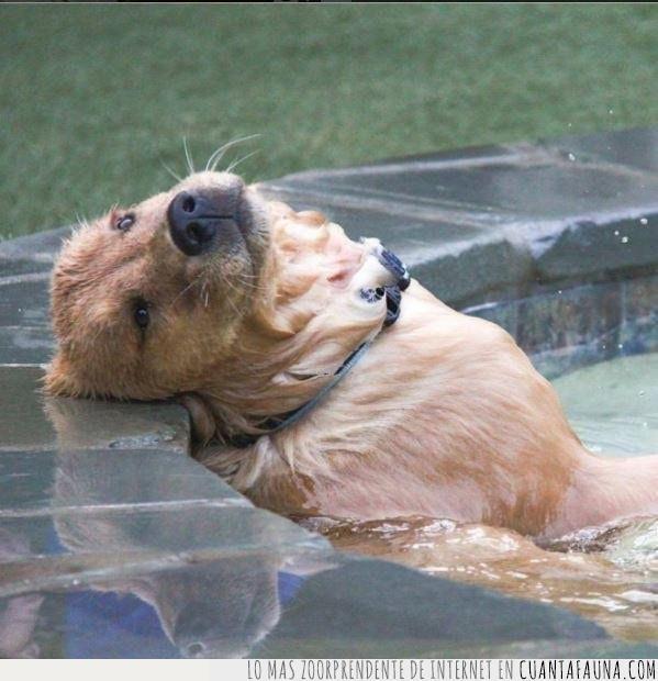 agua,apoyar,cabeza,perro,piscina,relax