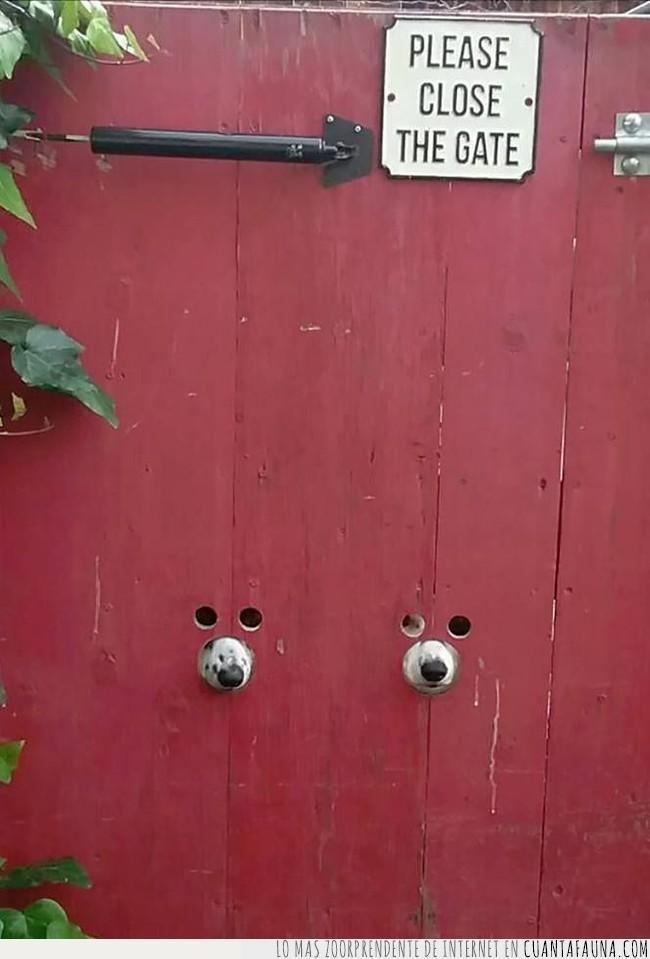 agujeros,espiar,hocicos,madera,observar,perros,puerta,roja