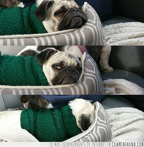 calor,despertar,dormir,levantar,mañana,perro,pug,sueño,verano