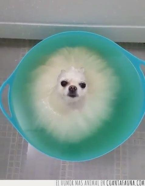 azul,baño,cabeza,cara,cubo,efecto,mojado,pelo,perro