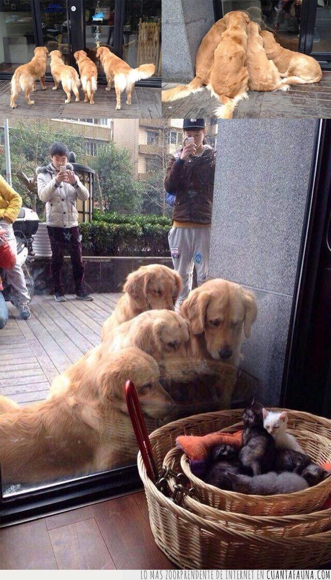 cachorros,cerca,cesto,crías,escaparate,gatos,mostrador,observar,perro