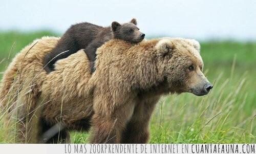 aguantar,cargar,cría,hijo,mamá,oso,transportar