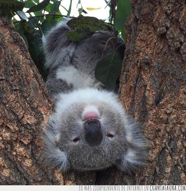 árbol,girado,koala,revés,saludar,tronco