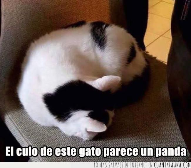 cara,culo,forma,gato,manchas,panda