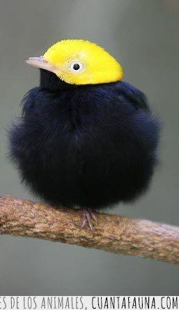 ave,cabeza,dorada,manakin,pájaro