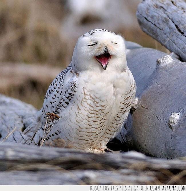 ave,blanco,búho,cantar,lechuza,ópera,parecer