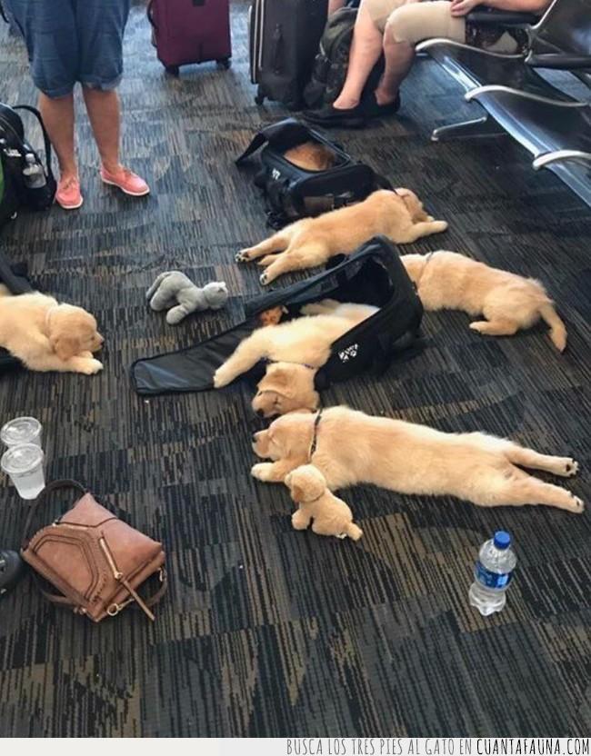 aeropuerto,alguien,cachorros,caer,dormir,estirar,maleta,pequeños,perros,recoger,suelo