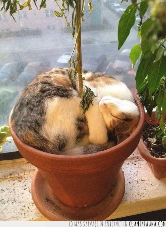 cama,crecer,dormir,encajar,gato,maceta,planta,preferir,tierra