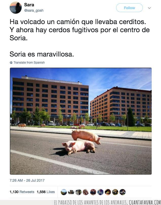 camión,carretera,cerdos,escapar,soria,volcar