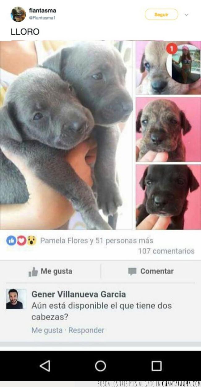 anuncio,cabezas,cachorros,disponible,dos,facebook,pedir,perro
