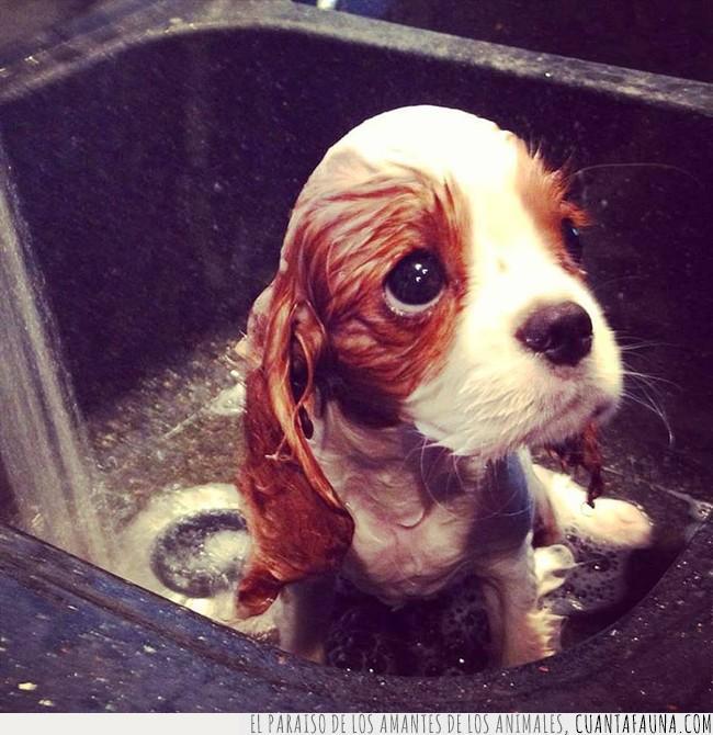 agua,cachorro,fregadero,limpiar,mirada,ojos,triste
