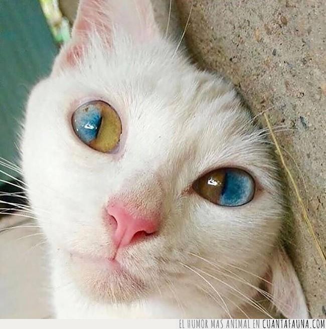 amarillo,azul,bonito,cromatismo,gato,locura,ojos,rareza,verde