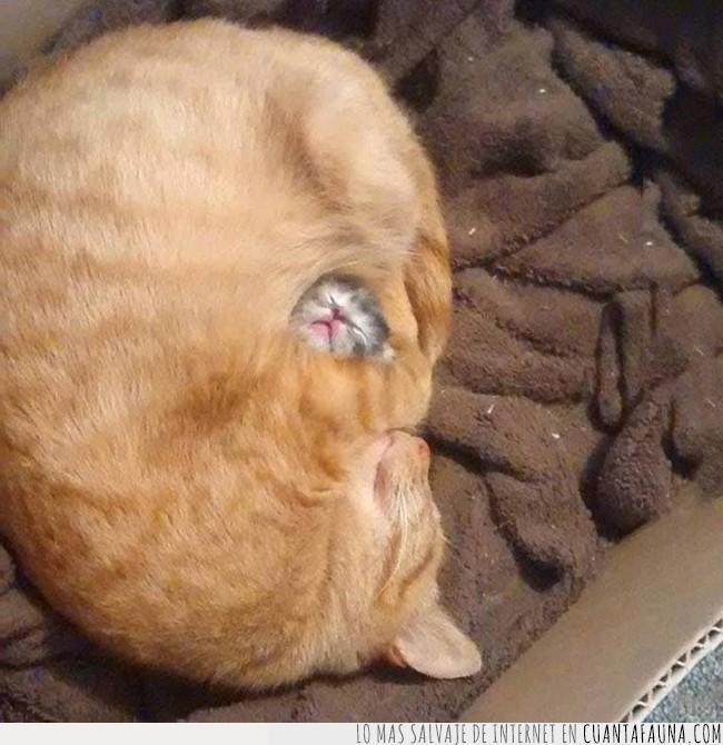abrazo,cría,despliegue,dormir,gato,madre,máxima,seguridad,tranquilidad,única