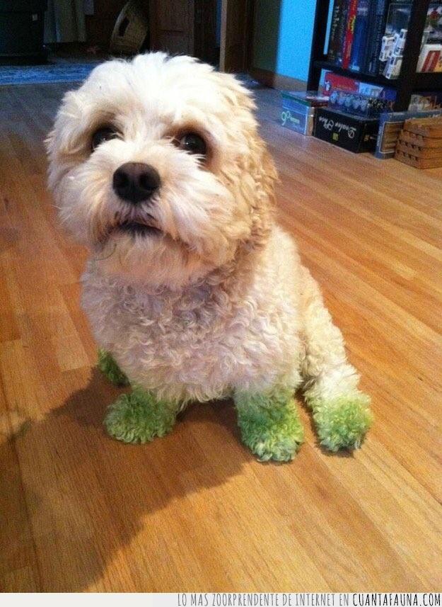 blanco,césped,color,correr,delatar,jardín,manchar,patas,pelo,perro,rizado,teñir,verde