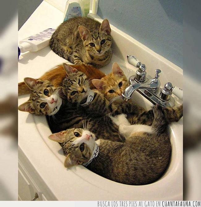 agua,baño,crías,fregadero,gatos,lavabo,llenar,ocupado,ocupar,wc