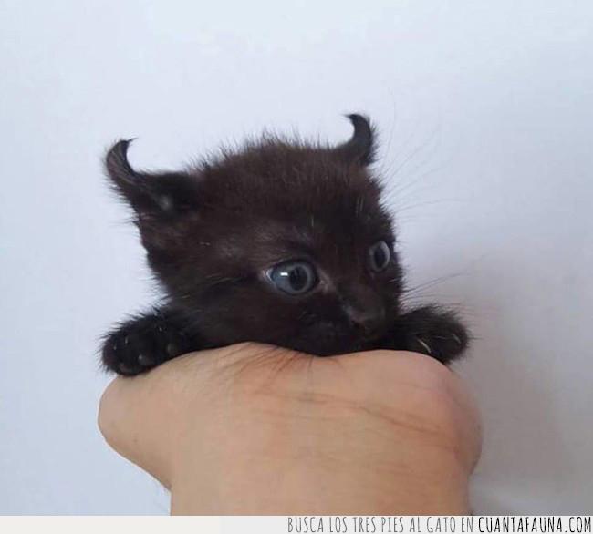 cría,demonio,gato,negro,orejas