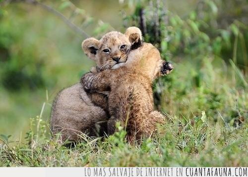 abrazo,crías,leones,pelea,pequeños