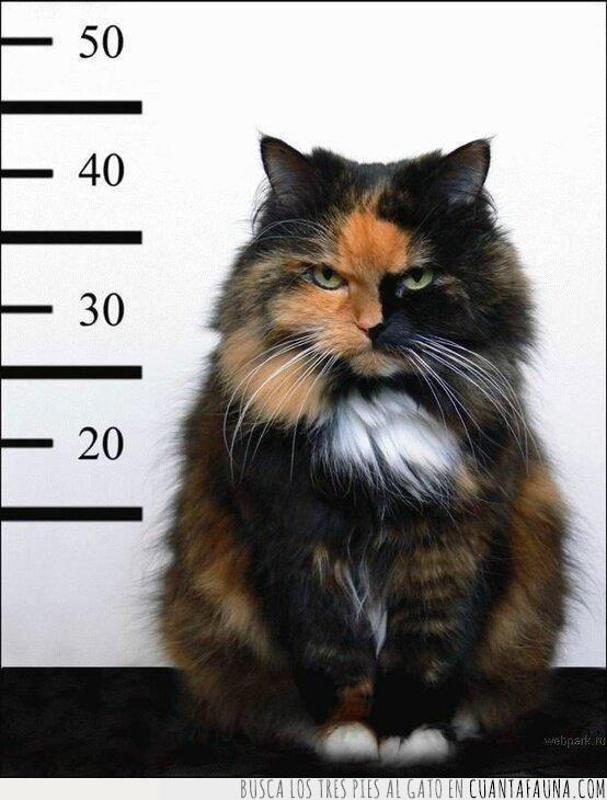 detención,foto,gato,habitual,policial,sospechoso