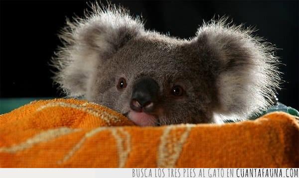 cabeza,hola,holita,koala,orejas,pequeño,sacar,saludar
