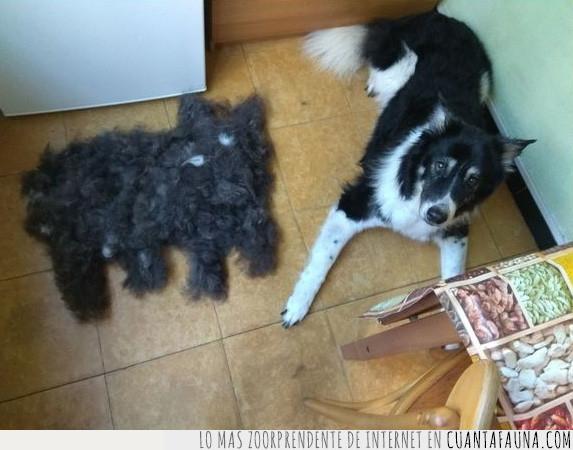 blanco,bola,cortar,esquilar,forma,mitosis,negro,pelo,perro,reproducir