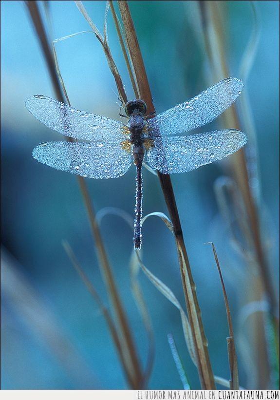 alas,azul,color,insecto,libélula,rama